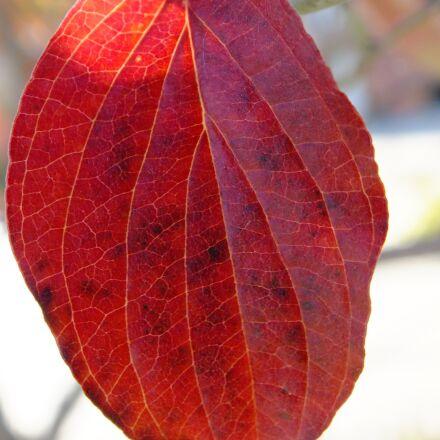 autumn, leaf, red, Fujifilm FinePix HS25EXR
