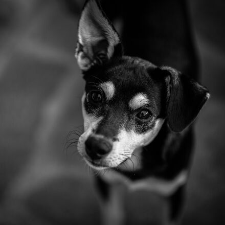 animal, close-up, dog, Fujifilm X-E2