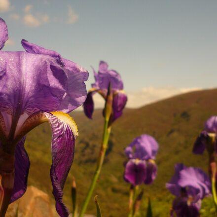 flowers, color, hybrid dutch, Panasonic DMC-FS3