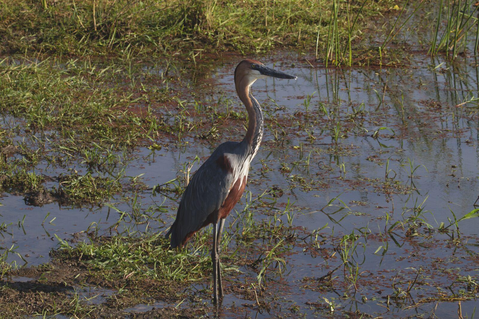 """Canon EOS 7D sample photo. """"Goliath heron, bird, reier"""" photography"""