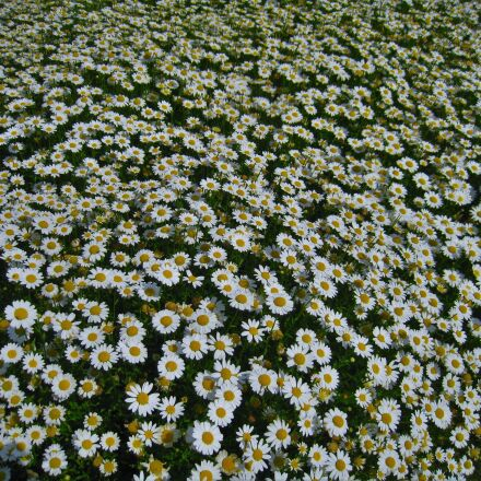 daisy, margaret, countless, Canon IXY DIGITAL 910 IS