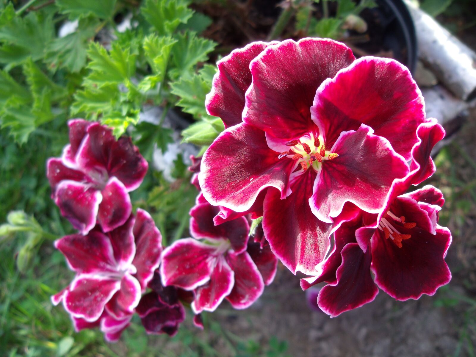 "Fujifilm FinePix J120 sample photo. ""Flowers, garden, pink"" photography"