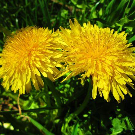 dandelion, yellow, flower, Canon IXUS 155