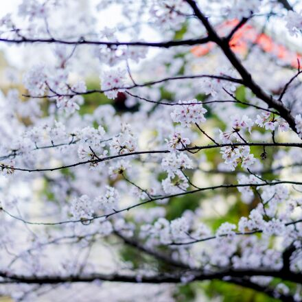 tree, season, branch, Sony ILCE-7