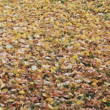 leaves, fall foliage, colorful, Canon EOS 1100D