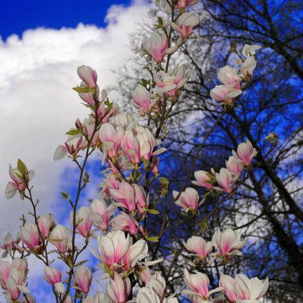magnolia, flowers, white, Sony SLT-A99V
