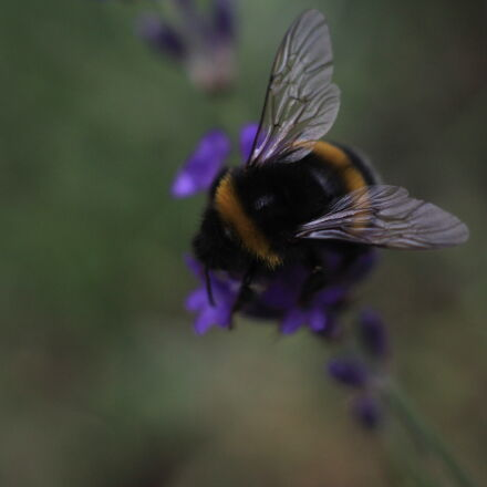 bee, close, up, flower, Canon EOS 1100D