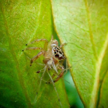 jumping spider, salticidae, harmless, Fujifilm FinePix S2960