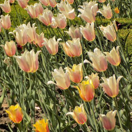 tulips, flowers, spring, Nikon COOLPIX L330