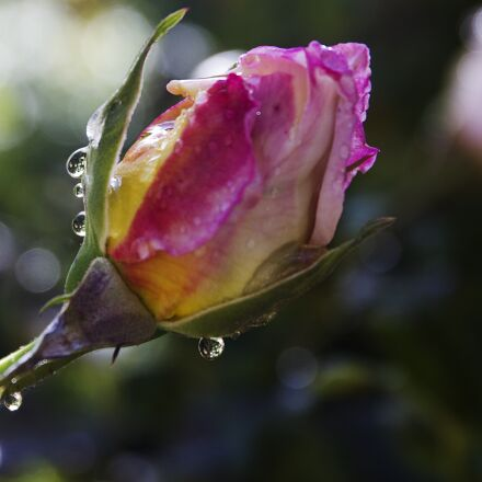 water drops, rose bud, Canon EOS 7D