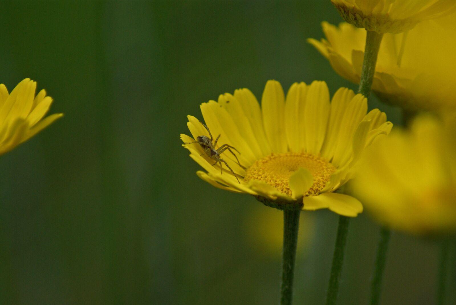 "Pentax K10D sample photo. ""Spider, flower, flora"" photography"