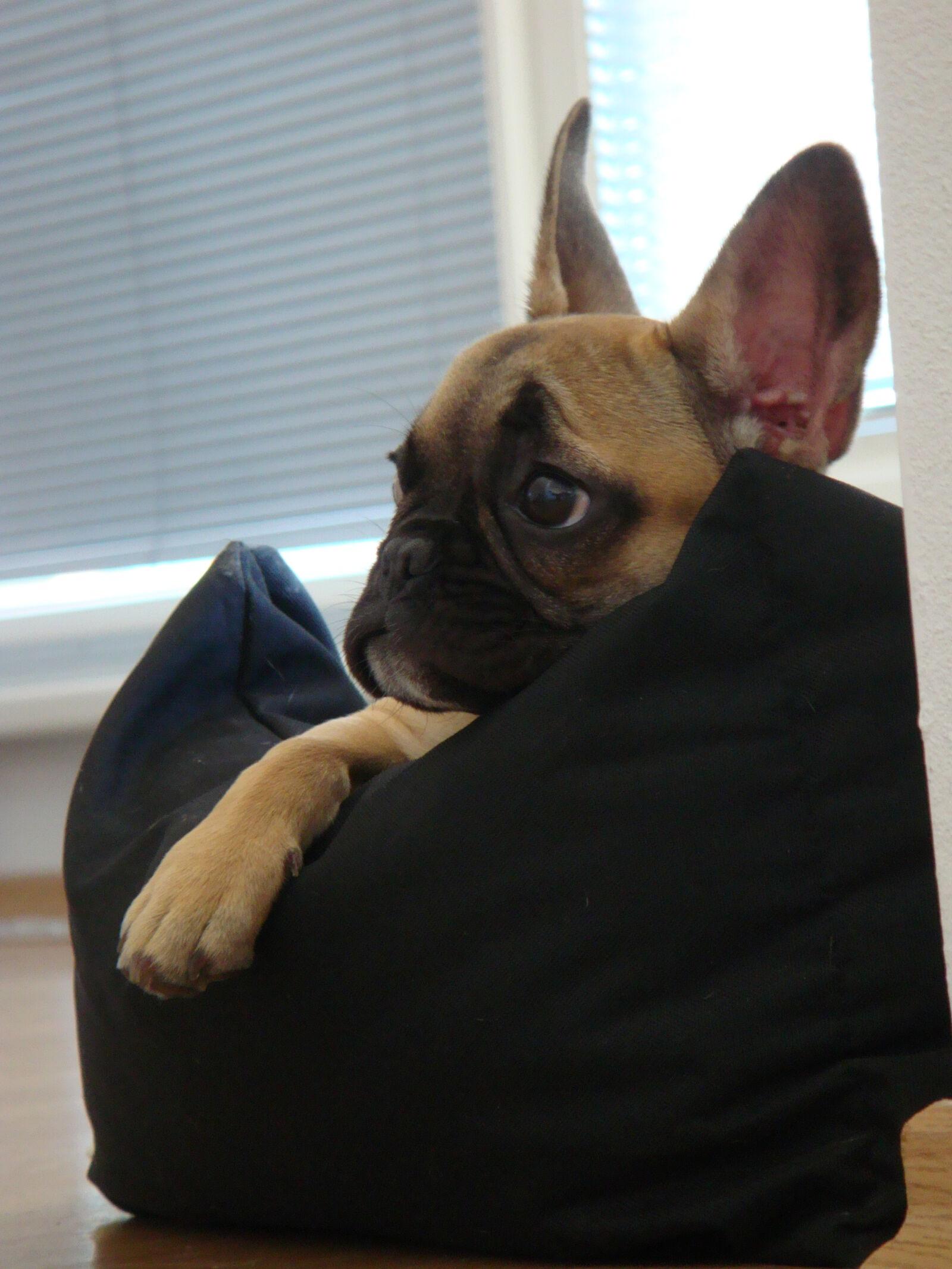 "Sony DSC-T300 sample photo. ""Bulldog, dog, french, bulldog"" photography"