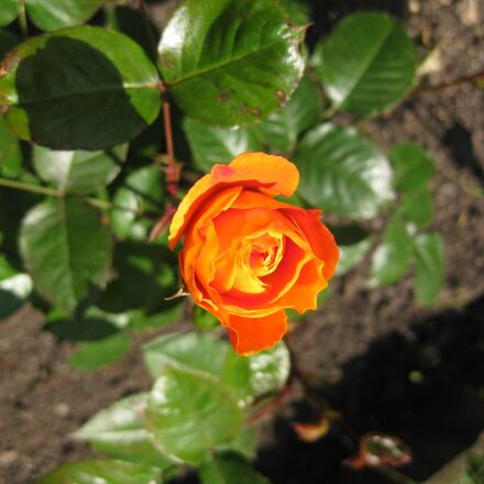 rose, orange, flowers, Canon DIGITAL IXUS 85 IS