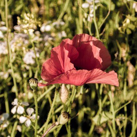 klatschmohn, plant, flower, Nikon 1 V2