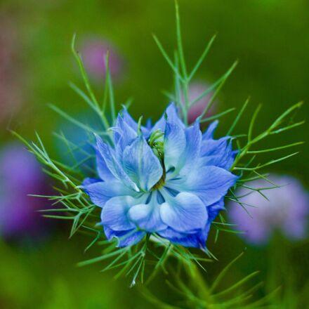 corn flower, blue, focus, Canon EOS 1100D