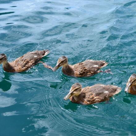 chick, duck, swimming, ducks, Nikon D3100