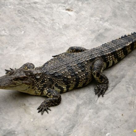 alligator, reptile, dangerous, Sony DSC-P200