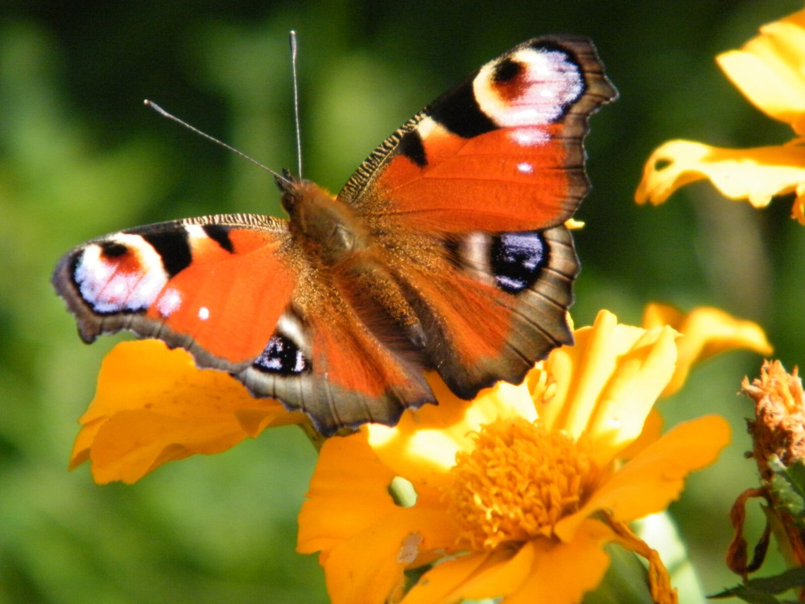 """Fujifilm FinePix S2000HD sample photo. """"Butterfly, blossom, bloom"""" photography"""