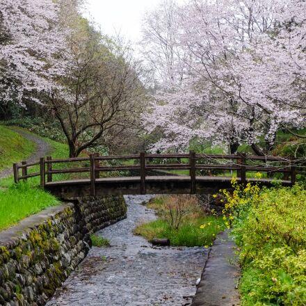 cherry blossoms, japan, kumamoto, Fujifilm X-E1