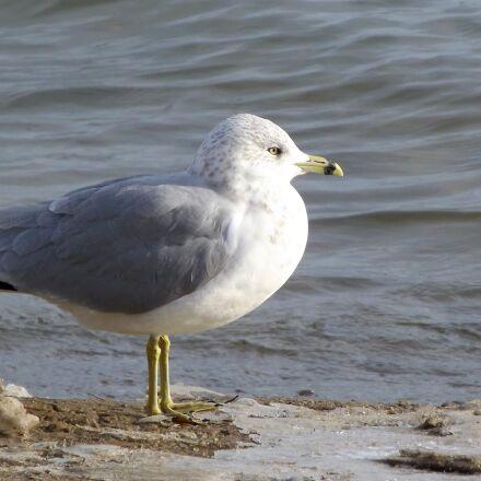 fauna, bird, seagull, Fujifilm FinePix S3400
