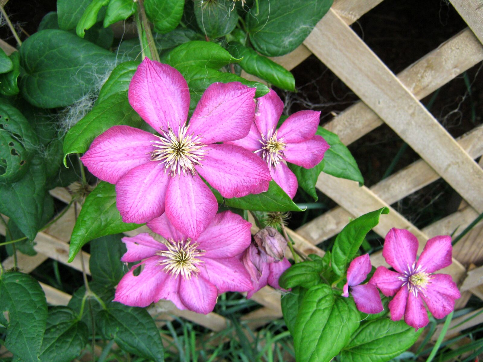 """Canon PowerShot A470 sample photo. """"Pink, flowers, garden"""" photography"""