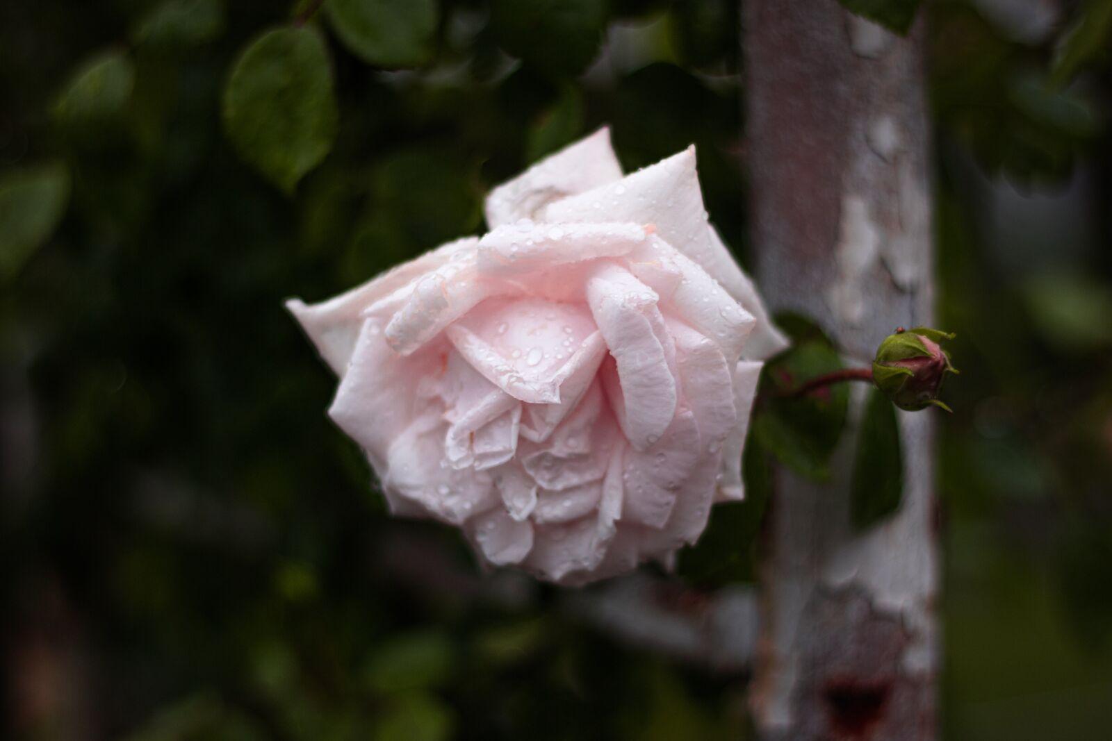 "Canon EOS 760D (EOS Rebel T6s / EOS 8000D) sample photo. ""Rose, flower, wedding"" photography"