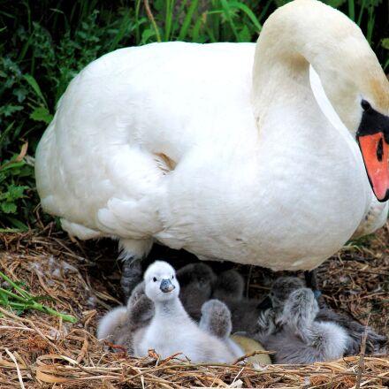 swan, nest, chicken, Canon EOS 1100D