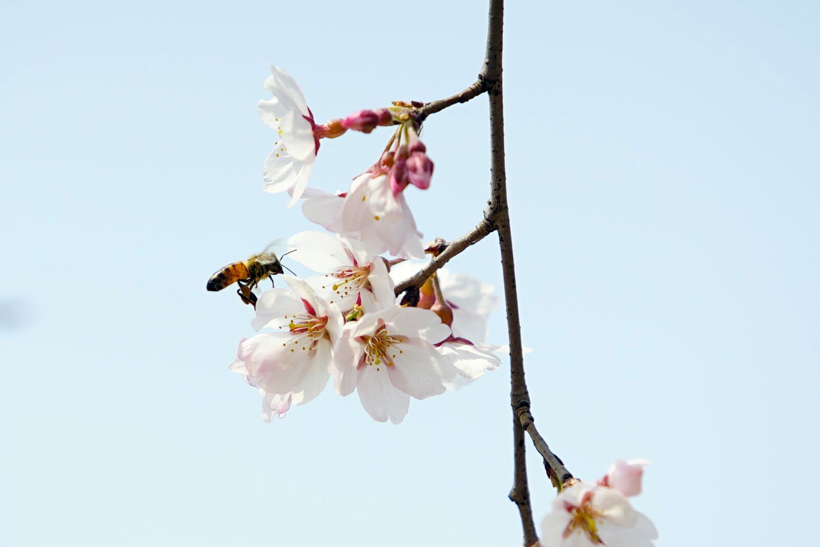 "Sony a7S sample photo. ""Bee, cherry, dandelion"" photography"