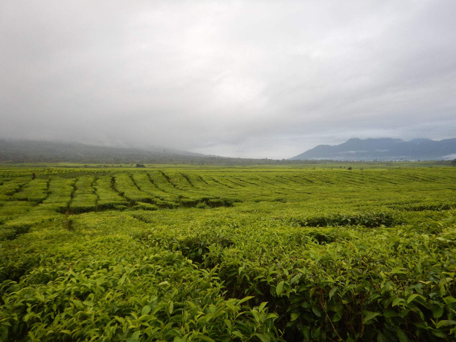"Nikon Coolpix AW120 sample photo. ""Tea, indonesia, agriculture"" photography"