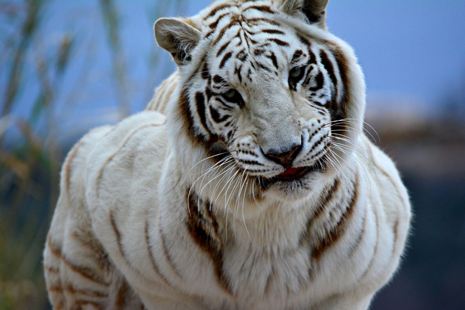 "Nikon D5200 sample photo. ""Africa, bigcat, bigcats, exoticanimals"" photography"