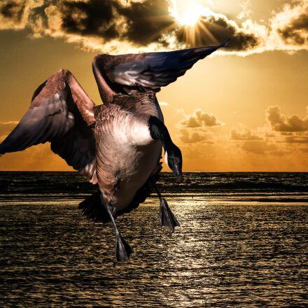 animal, goose, bird, Panasonic DMC-G70