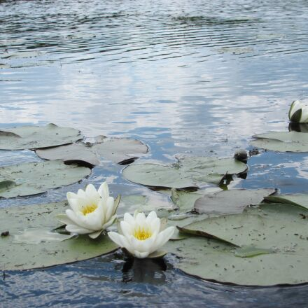 water flower, river draw, Canon POWERSHOT SX120 IS