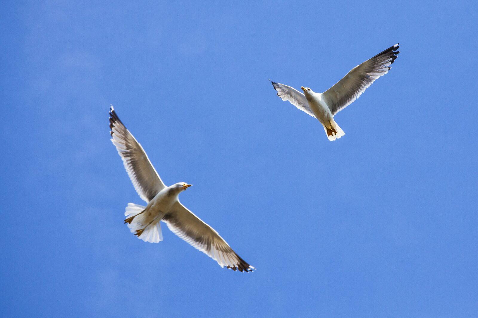 seagulls, sky, birds