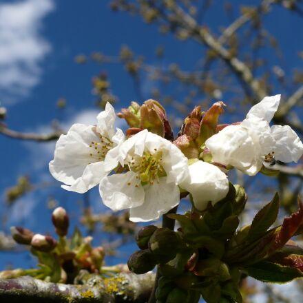 flowers of apple tree, Panasonic DMC-LZ7