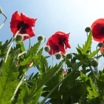 poppies, flowers, nature, Panasonic DMC-TZ6