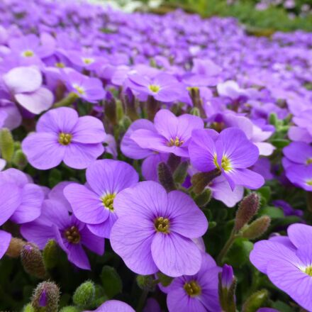 purple, flowers, alpine, Panasonic DMC-TZ30