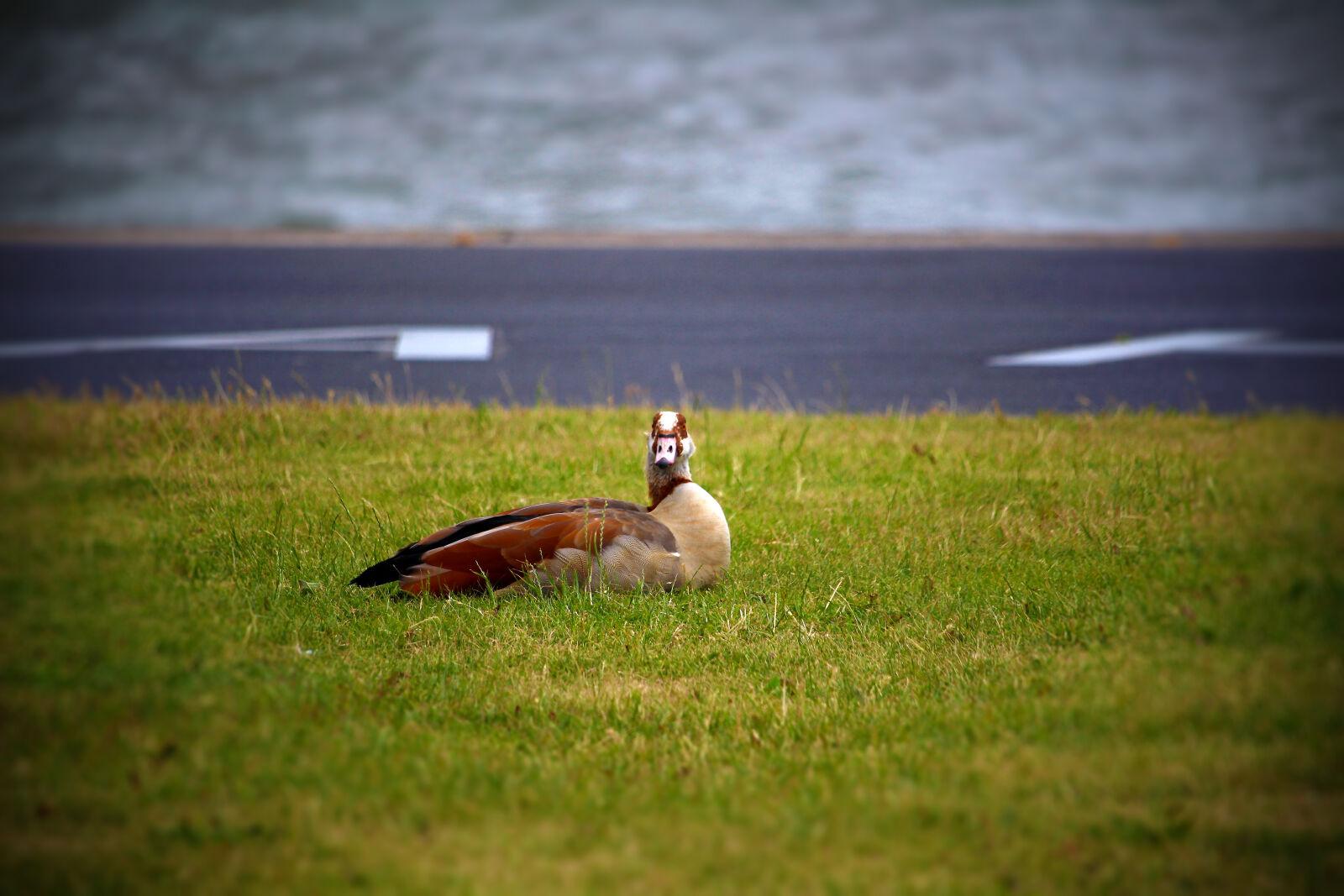 """Canon EOS 100D (EOS Rebel SL1 / EOS Kiss X7) sample photo. """"City, duck, bird, grass"""" photography"""