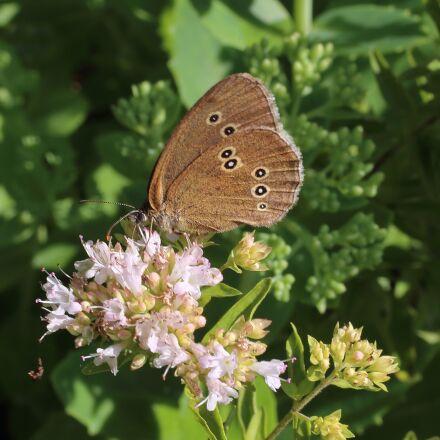 butterfly, brown fox, butterflies, Canon EOS 6D