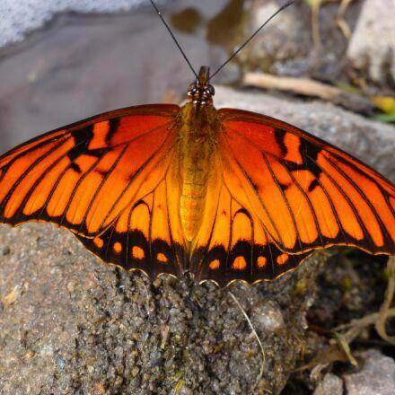 butterfly, orange, insect, Panasonic DMC-ZS20