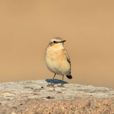 bird, gray, gray wheatear, Canon EOS 600D