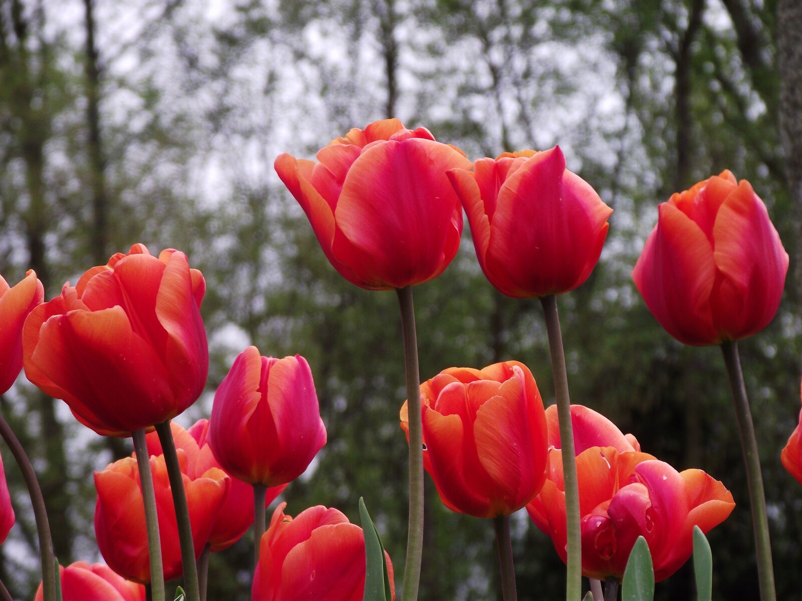 flowers, tulips, red
