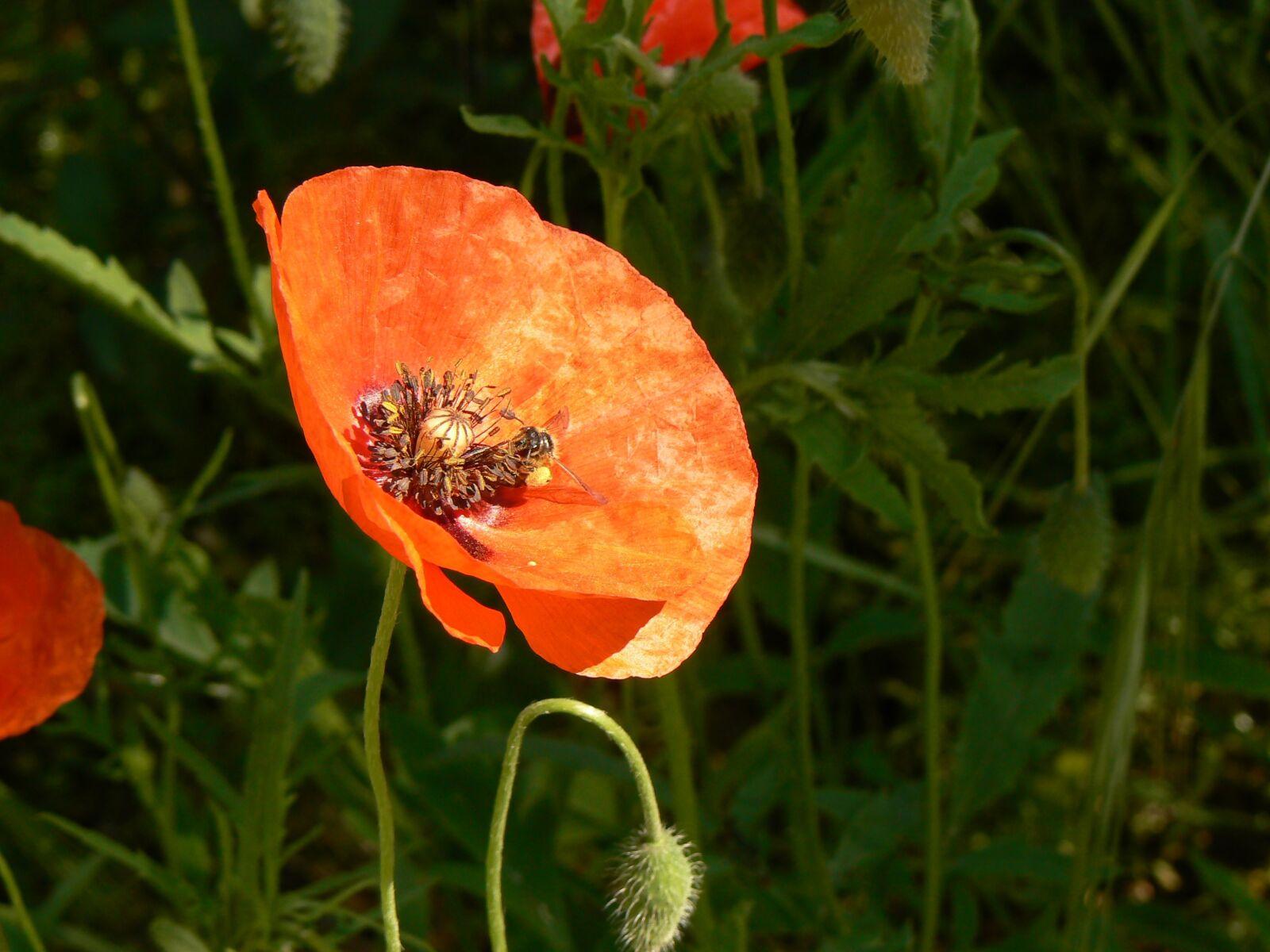 "Panasonic DMC-FZ7 sample photo. ""Nature, poppy, flower"" photography"