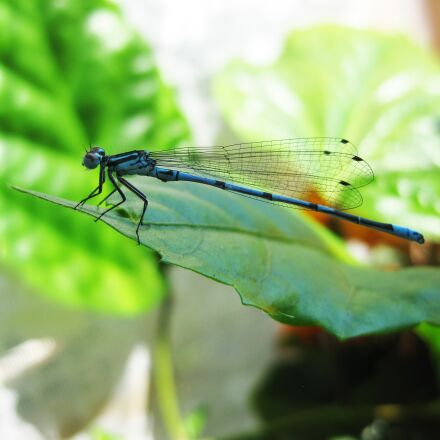 dragonfly, blue, sheet, Canon DIGITAL IXUS 85 IS