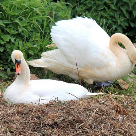 swans, nest, swan's nest, Canon EOS 1100D