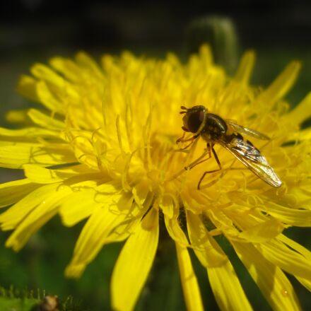 dandelion, flower, weed, Canon POWERSHOT SD880 IS
