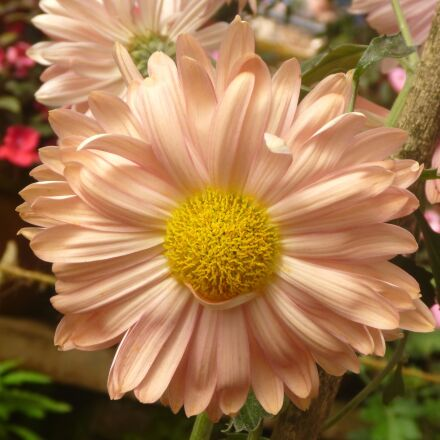 beautiful, flower, daisy, blossom, Panasonic DMC-TS2