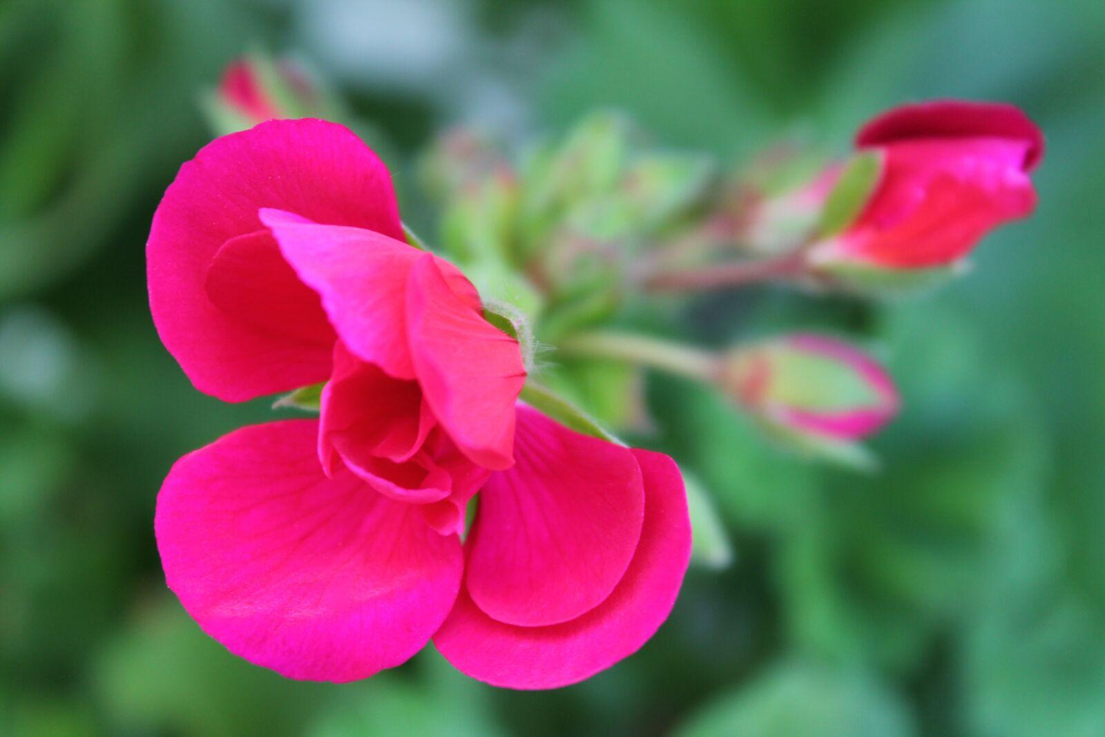 "Canon EOS 1100D (EOS Rebel T3 / EOS Kiss X50) sample photo. ""Geranium, pink, plant"" photography"