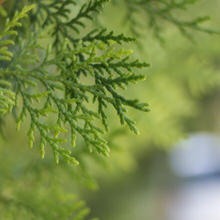 thuja, conifer, trees, Canon EOS 100D