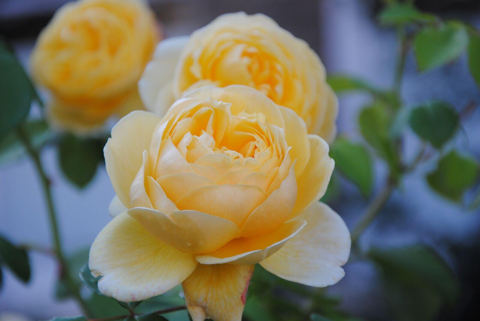 "Nikon D3000 sample photo. ""Cream colour, rose, cream"" photography"