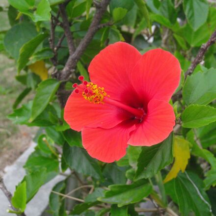 hibiscus, red, leaf, Canon IXY DIGITAL 910 IS